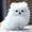 Продам щенков померанского миниатюрного шпица #1109732