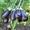 Семена Китано. Предлагаем купить семена баклажана ПРАДО F1  #1214331