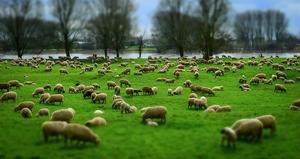 Овцы мясных пород живым весом. - Изображение #1, Объявление #1685466
