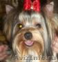 продаётся щенок йоркширского терьера............................................