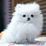 Продам щенков померанского миниатюрного шпица