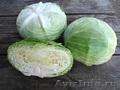 Семена Китано. Предлагаем купить семена белокочанной капусты НАОМИ F1