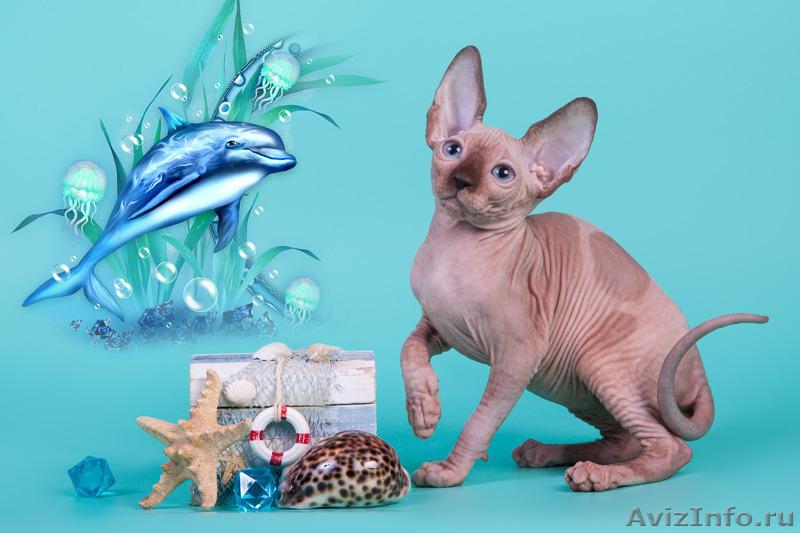 Объявления асирахани куплю котенка сфинкса подать объявление о пропаже документов г.екатеринбург